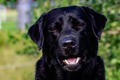 Labrador Retriever #schwarz Graf Aiko von der hohen Reute