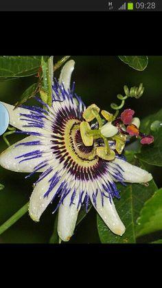 flor de Mburucuja