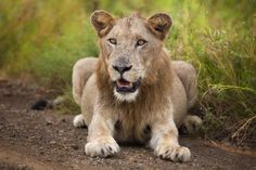 Male Lion with not much mane