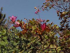 Day 97 #ΑνώνυμοςΒικιπαιδιστής #wikipedia #wikicommons #ΣχολείοΒικιπαίδειας #Βικιπαίδεια #ΣύλλογοςΣχολείωνΚοινότηταςΒικιπαίδειαςΕλλάδας #100wikicommonsdays Phanera purpurea Plants, Blog, Planters, Plant, Planting