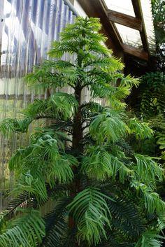 Wollemia nobilis a primitive conifer from Australia