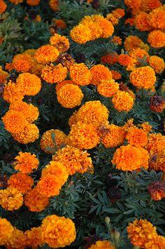 Taishan Orange Marigold (Tagetes erecta 'Taishan Orange') at Shelmerdine Garden Center Marigolds In Garden, Garden Plants, Garden Landscape Design, Garden Landscaping, Marigold Flower, Low Maintenance Plants, Beautiful Waterfalls, Types Of Soil, Salvia