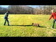 Schutzund puppy training