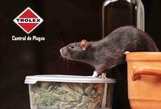 ¿Cómo se ve la rata del tejado?  La rata del tejado, rata negra o rata del techo es más pequeña que la rata Noruega. También es más delgada en apariencia que otras especies de ratas.