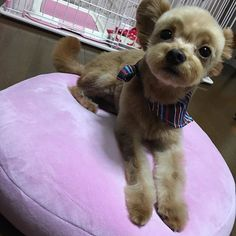 かぁわいいいい💞💞💞 目キラキラ👀✨ カットに連れて行って、良い匂いになって帰って来た💞えぃちゃんやばーい💞  #永吉#えぃちゃん#チワプー#チワワ#トイプードル#ミックス#1歳#やんちゃ#男の子#三年寝太郎#愛犬#溺愛#大好き#💞