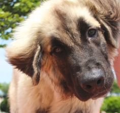 """SUCCESS:  ADOPTED!!! Leo is an adopted Leonberger Dog in Wylie, TX. *** ADOPTION PENDING ***   IMPORTANT NOTE: Please click on """"Read More about this Pet"""" at the bottom for additional information regarding this pet and a..."""