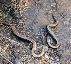 Slow Worms Anguis Fragilis