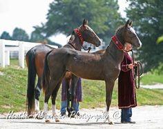 AKhal Teke Colt and Stallion - gladiator victory