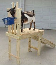 NEW STAND DESIGN!!!! TIRED OF BENDING OVER TO CLIP YOUR GOATS OR TRIM THEIR FEET? TRY ONE OF OUR NEWEST DESIGNED EXTRA TALL STANDS WHERE YOUR BACK WILL THANK YOU! COMES WITH RAMP THAT IS REMOVEABLE