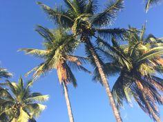 Coconut trees in Lahaina maui