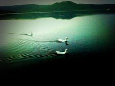 Papere al lago di Vico al crepuscolo 1