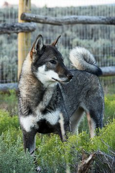 The Shikoku is one of the native Japanese breeds intermediate in size between the large Akita Inu and the small Shiba Inu; all are within the Spitz family of dogs.