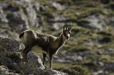 Un rebequín.... Asturias está plagado.. by Ahio, via Flickr