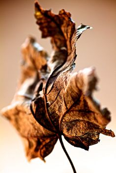 What a beautiful way to capture a crispy, brown leaf ... the shading is great!