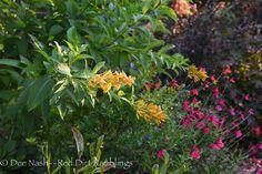 Garden Bloggers Bloom Day: Dateline October: Cestrum 'Orange Peel' and 'Pink Preference' autumn sage.