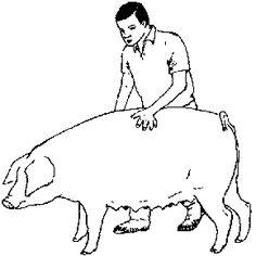 Chapitre 4: Le porc