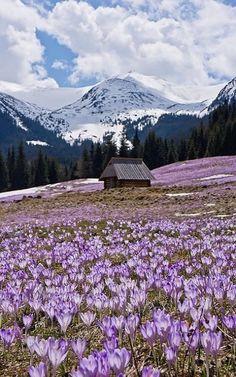 Tatra Mountains, Crocus field, Poland