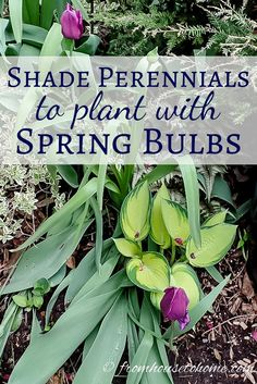 Shade Perennials To Plant With Spring Bulbs | Shade perennials to plant with spring bulbs | Planting bulbs in your garden is a great way to ensure lots of blooms when spring rolls around. These shade perennials create great combinations for beautiful landscaping and also help to hide the bulb leaves after the flowers are finished.