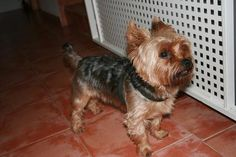 How to Care for Yorkie Hair - Pets