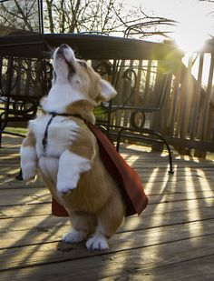 Have I mentioned all of the lives they have saved this year? Hundreds. | 71 Reasons We Need To SAVE CORGIS FROM EXTINCTION