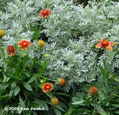 Gaillardia 'Goblin' with Artemisia 'Powis Castle'; by Pam Penick at Digging