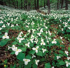 Trillium - a woodland wildflower in Michigan.