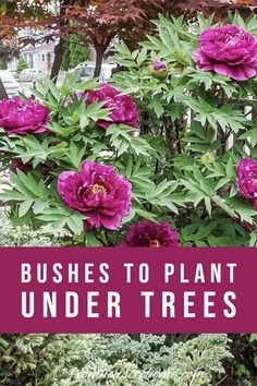 Find out which bushes to plant under trees in the shade garden in your backyard or front yard. These shrubs will help to brighten up your yard. #fromhousetohome #bushes #shade #gardeningtips #gardening #gardenideas Shade Loving Shrubs, Shade Shrubs, Shade Garden Plants, Garden Shrubs, Shade Perennials, Garden Trees, Garden Bed, Shaded Garden, Forest Garden