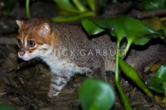 THE FLAT-HEADED CAT. This very rare and elusive species occurs from Southern Thailand through the Malay peninsula to Sumatra and Borneo. The Flat-Headed Cat weighs 5.5 - 8 kg, is nocturnal, and inhabits river margins and swampy areas where it hunts for small mammals, birds, amphibians and fish . It is listed as vulnerable with principal threats being water pollution, especially by oil, organochlorides, and heavy metal.