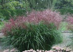 Miscanthus sinensis 'Ferner Osten' | Tuinen Mien Ruys