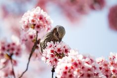 Wonderful Cherry Blossom Season