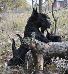Out in the woods exploring. (this scottie has great eyebrows!)
