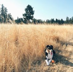 Hiding in the grass at Fort Steilacoom Dog Park - Lakewood, WA - Angus Off-Leash #dogs #puppies #cutedogs #dogparks #lakewood #washington #angusoffleash