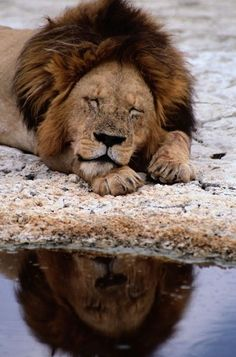 *Africa | A male lion sleeps peacefully near a water hole. | © National Geographic / Tim Laman