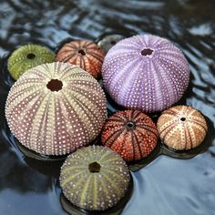 Rainbow Sea Urchins | beautiful sea urchins | God's Creation - Beaches