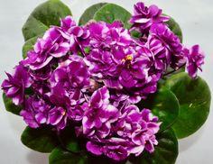 Chimera Cherry Princess Semi Miniature African Violet Flowers