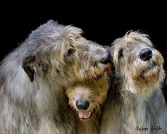 Big Dogs, Cute Dogs, Dogs And Puppies, Doggies, Irish Wolfhound Dogs, Scottish Deerhound, Tier Fotos, Dog Quotes, Dog Portraits