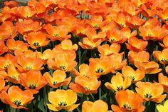 Tulipa triumph 'Kings Orange' Tulip from ADR Bulbs