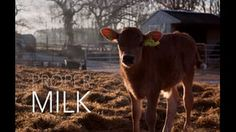 June 1 - It's milk day ! Documentary of the day : www.thedocus.com/proper-milk-documentary