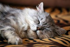 What to do if your Cat has Ingested something Poisonous | Vet Medic Blog