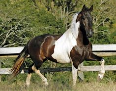 Future of New Horse Beautiful Horse Pictures, Beautiful Horses, Campolina, Tennessee Walking Horse, Pinto Horses, Gypsy Horse, Horse World, All The Pretty Horses, Horse Stuff