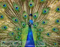 Peacock Plumage, 8x10 Fine Art Photograph (D1277), Peacock photograph, Wildlife Photography, Animal Photography