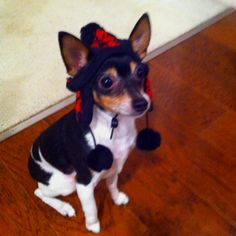 My Toy Fox Terrier Diggy - my little boy :) ryan_harju Rat Terrier Dogs, Toy Fox Terriers, Little Puppies, Cute Puppies, Cute Dogs, Cute Puppy Pictures, Dog Pictures, Puppy Pics, Baby Animals