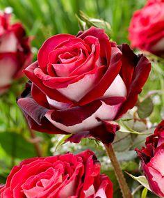 Rose Grandiflora Osiria - vma.