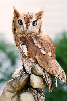 I believe this is a Red Screech Owl. Such an intent yet soft expression.