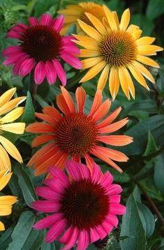 Coneflowers (Echinac Flowers) Garden Love