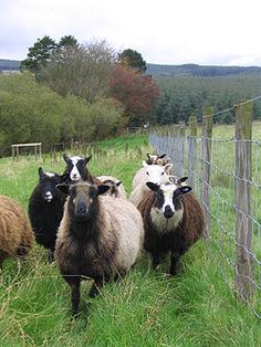 Shetland sheep - another heritage breed I love.