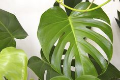 This tropical-looking houseplant comes in many different sizes, shapes, and coloring, including the popular split-leaf version (pictured). Although there are many kinds, one thing they have in common is their ability to survive neglect…you mean, mean plan