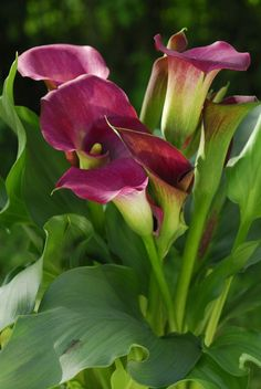 Zantedeschia hybrid Calla Lily Dominique has deep purple blooms with lush green foliage. Our beautiful bulbs should produce between 3 and 7 flowers Lys Calla, Calla Lillies, Calla Lily, Plants Under Trees, Garden Express, Flower Garden Design, Wild Orchid, Plantation, Lush Green