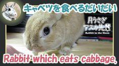 キャベツを食べる【 だいだい 】 Rabbit which eats cabbage. 2015年12月4日