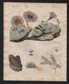 1800 - Seeanemonen Koralle Korallen Schwamm Bertuch Kupferstich engraving | eBay